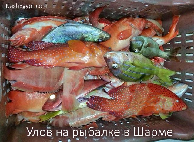 Улов на рыбалке в Шарме