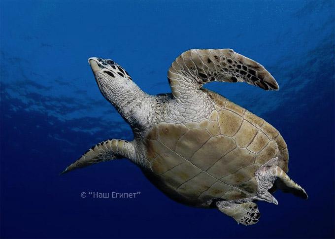 Черепаха (фото снизу) в Красном море